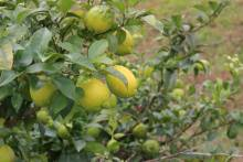 国産レモンご注文はこちら⇒ 冷凍いちごもありますよ♪